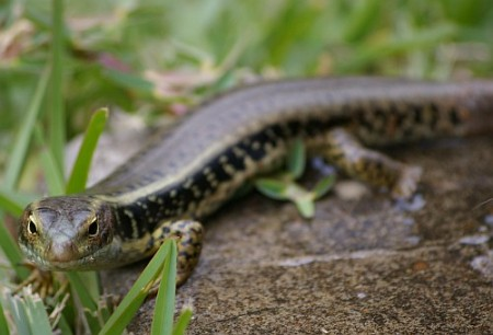 Eulamprus quoyii (Eastern Water Skink)