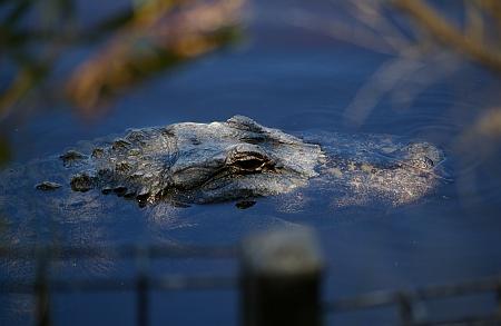 alligator-02