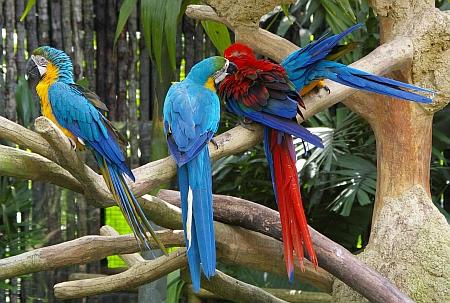 Blue and gold macaw (Ara ararauna) grooming a Scarlet Macaw (Ara macao)