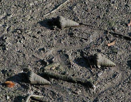Mud Whelks