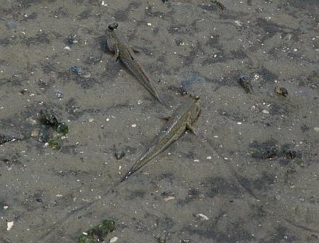 Mudskipper (Periophthalmus sp.)