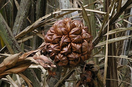 Fruit cluster of  the Attap Palm/Nipah Palm (Nypa fruticans)