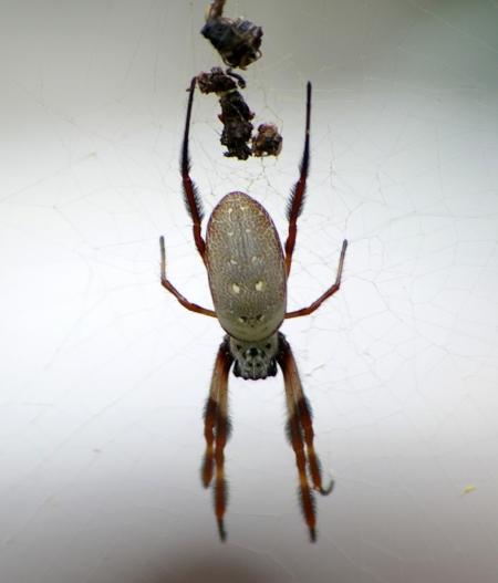 Golden orb web spider (Nephila edulis), dorsal view