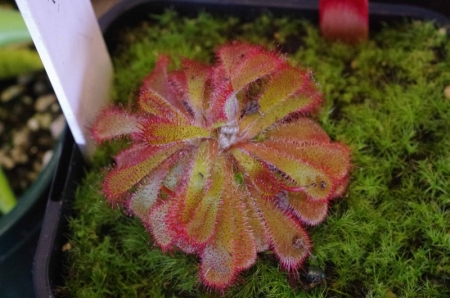 I'm hoping someone can identify this Drosera