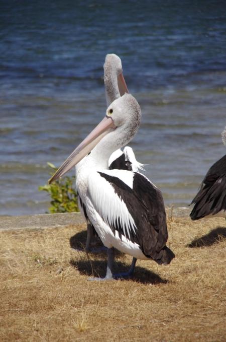 Australian Pelican (Pelecanus conspicillatus), Harrington Beach