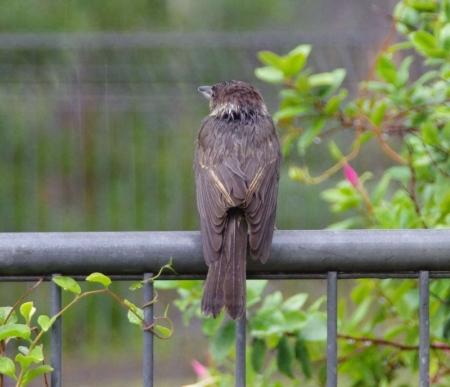 Juvenile Grey Butcherbird (Cracticus torquatus)