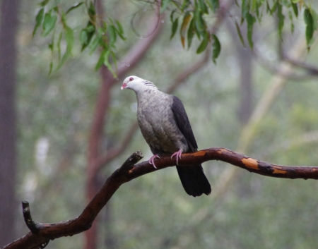 White-headed Pigeon (Columba leucomela)