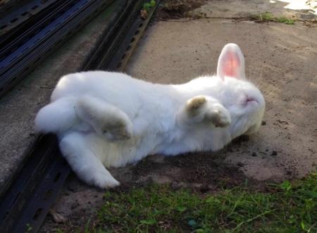 Bertie the house rabbit having a bit of garden time.