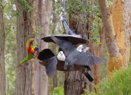 A Rainbow Lorikeet (Trichoglossus haematodus) crashes the pigeon party