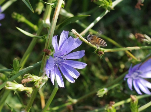 European honey bee (Apis mellifera) with head covered in blue pollen