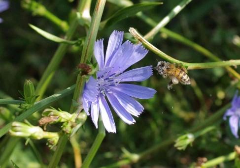 European honey bee (Apis mellifera) with visible pollen baskets