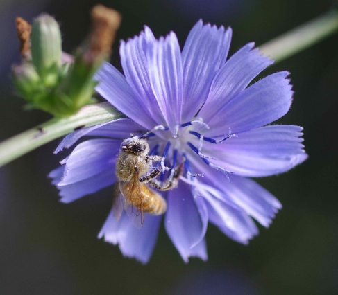 European honey bee (Apis mellifera) covered in lovely blue pollen