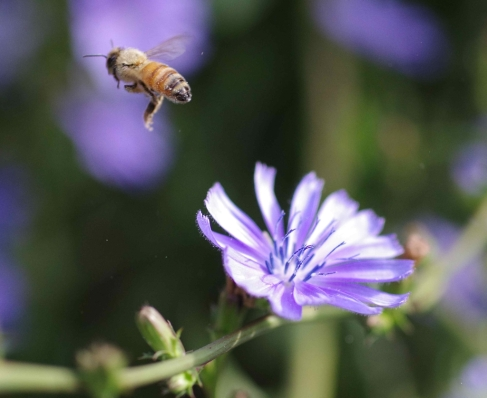 European honey bee (Apis mellifera) flies away, leaving a dusting of pollen