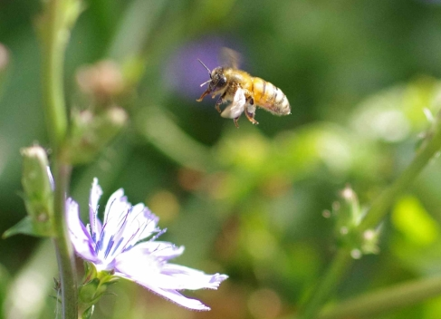 European honey bee (Apis mellifera) in flight
