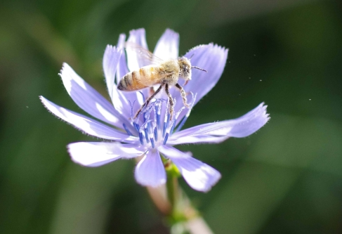 European honey bee (Apis mellifera) prepares to leave a flower