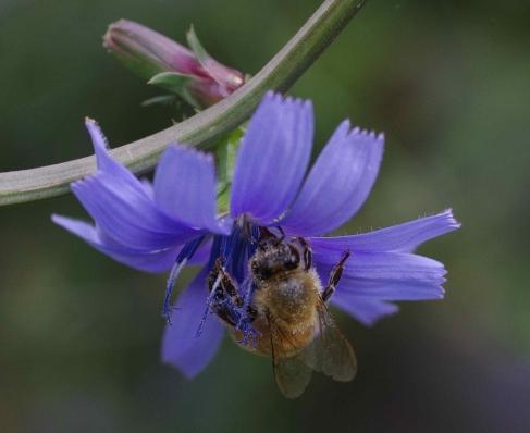 European honey bee (Apis mellifera) in Chicory (Cichorium intybus) flower