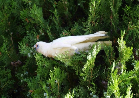 A Little Corella (Cacatua sanguinea) reaches for a nut