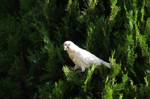 Little Corella (Cacatua sanguinea)