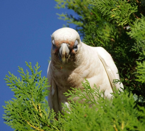 A seed or shell fragment falls from a Little Corella's beak