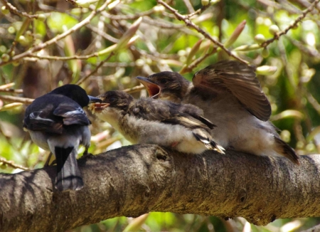 A Grey butcherbird (Cracticus torquatus) feeds its young
