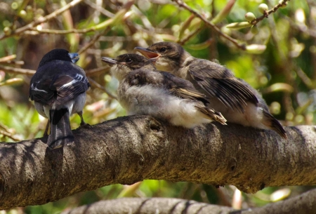 Grey butcherbird (Cracticus torquatus) with young