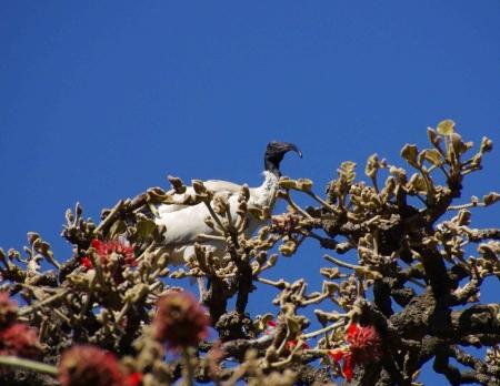 Australian White Ibis (Threskiornis moluccus)