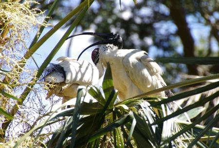 Australian White Ibis (Threskiornis moluccus) in a palm tree