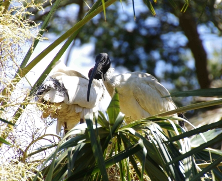 Australian White Ibis (Threskiornis moluccus) in a palm tree