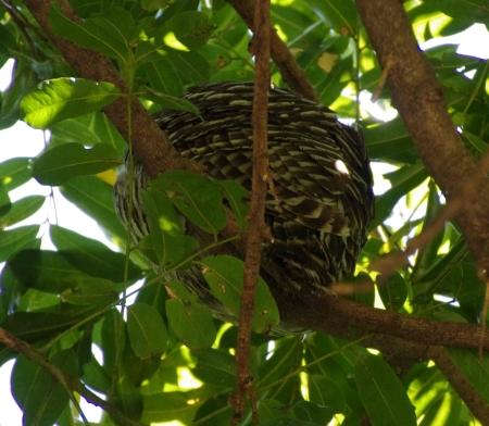 Powerful Owl (Ninox strenua) - rear view