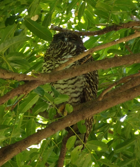 Powerful Owl (Ninox strenua). The talons are visible in this photo.