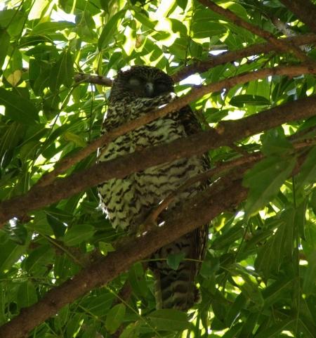 Powerful Owl (Ninox strenua) with one eye open