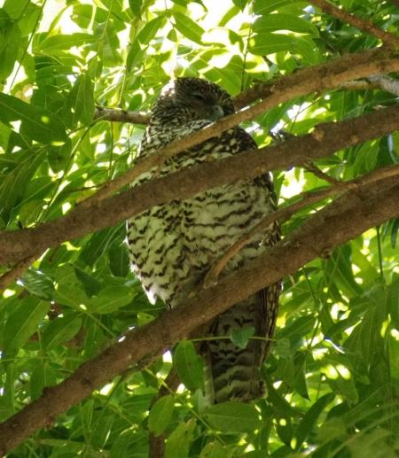 Powerful Owl (Ninox strenua)
