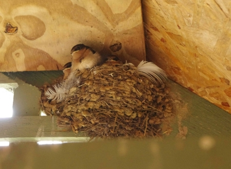 A nest of Welcome Swallows (Hirundo neoxena)