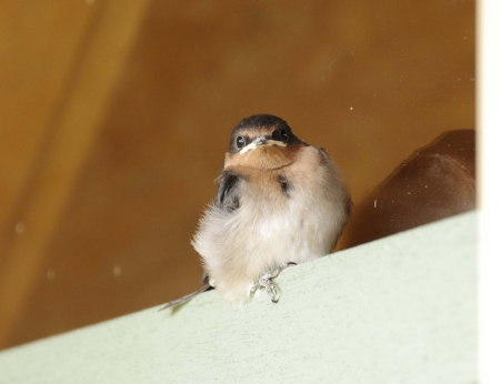 A juvenile Welcome Swallow (Hirundo neoxena) leans against a window.