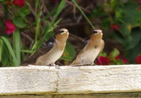 swallows03