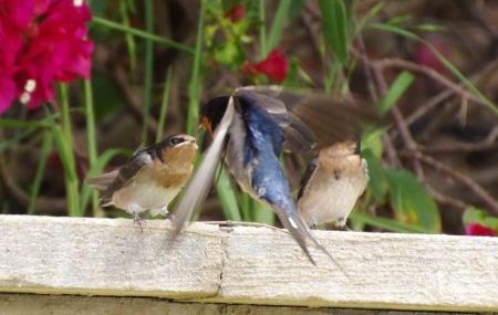 swallows07