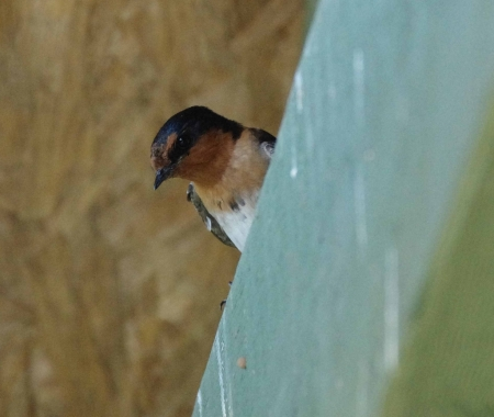 A Welcome Swallow (Hirundo neoxena) looks out at the world from a crossbeam