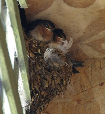 Three juvenile Welcome Swallows (Hirundo neoxena) sit patiently in the nest. Two of their siblings are perched elsewhere.