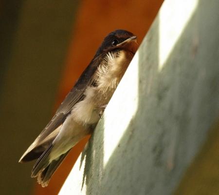 A juvenile Welcome Swallow (Hirundo neoxena)