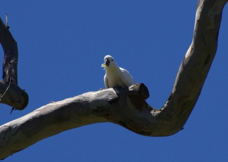A Sulphur-crested cockatoo prepares for flight