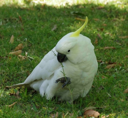 Sulphur-crested Cockatoo (Cacatua galerita) with dock plant (Rumex sp.)