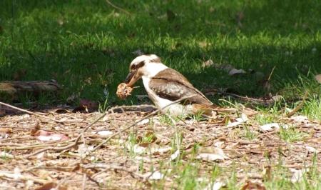 "A Laughing kookaburra (Dacelo novaeguineae) kills its ""prey"""