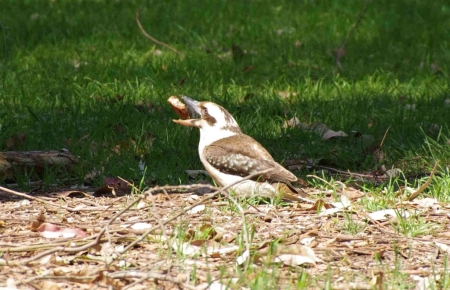 "A Laughing kookaburra (Dacelo novaeguineae) kills its ""prey"""