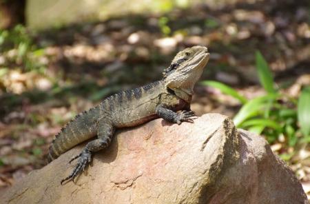 Australian water dragon (Intellagama lesueurii)