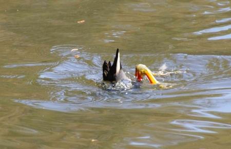 Dusky moorhen (Gallinula tenebrosa)