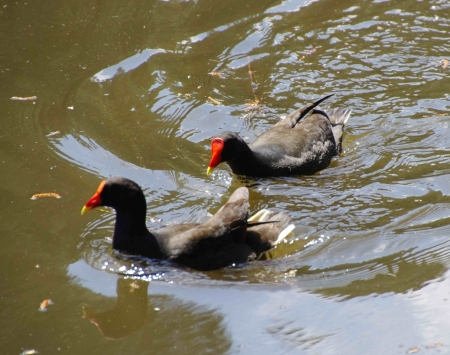 An aggressive Dusky moorhen chases another