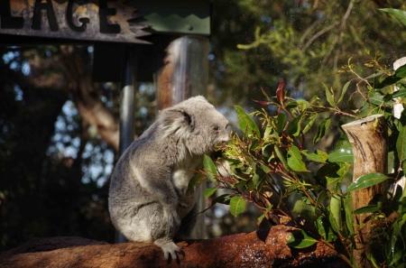 A Koala (Phascolarctos cinereus) enjoying a snack and a shower