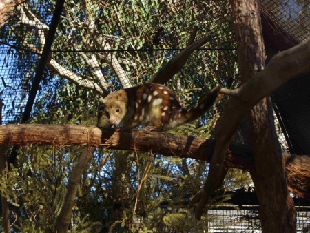 Spotted-tailed or Tiger Quoll (Dasyurus maculatus)