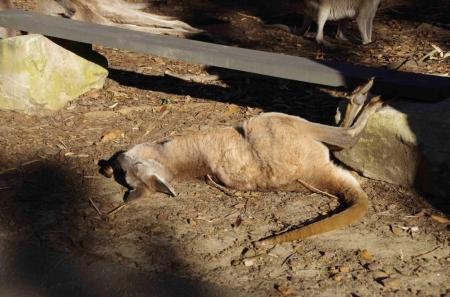 Probably an Eastern Grey Kangaroo (Macropus giganteus)