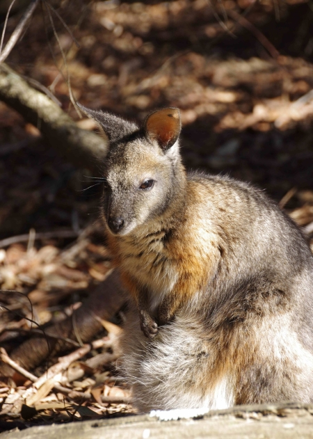 Possibly a Tammar wallaby (Macropus eugenii)